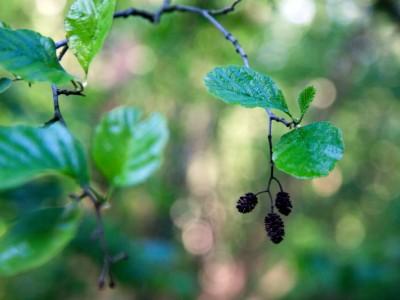 Fruits de l'aulne