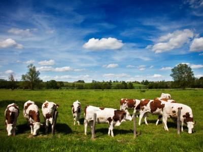 Troupeau de vaches